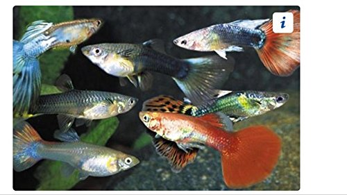 Guppy Female Assorted Colors - Freshwater Live Freshwater Tropical Aquarium Fish