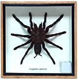 snowboard accesory - Angelwing Real Spider Tarantula Taxidermy Mounted Specimen Insect Framed Insect Eurypeima Entomology