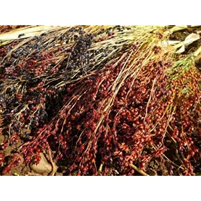 Mixed Color Broomcorn Seed - Heirloom Broom Making Grass Grain Seeds 3 Gram : Garden & Outdoor