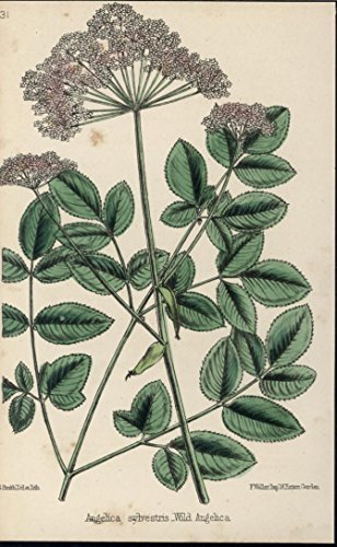 Wild Angelica Tiny White Flowers 1871 antique color lithograph botanical ()