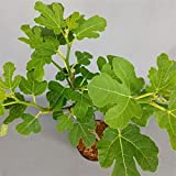 rarit t pistacia lentiscus pistazienpflanze mastixstrauch. Black Bedroom Furniture Sets. Home Design Ideas