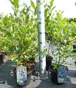 Beliebt Bevorzugt Heidelbeeren Pflanze, Trauben Heidelbeere Vaccinium corymbosum, ca #HH_82