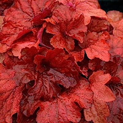 "AchmadAnam - Live Plant - 10 Heuchera"" FIRE Alarm"" - Coral Bells - Alumroot - Perennial : Garden & Outdoor"