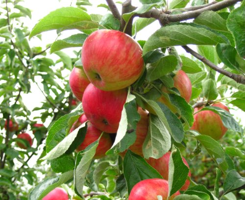 gala-dwarf-apple-tree-healthy-bare-root-fruit-trees-2-4-ft-1-each-plus-bonus