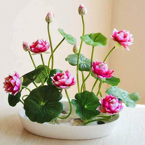Iekofo Seed house - Mini Lotus Seeds Adorable Flower Seeds Fragrant Blooms Hydroponic Water Flower Seeds Plant Bonsai Perennial Lotus