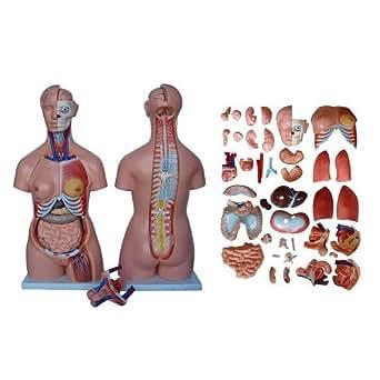 66FIT - Modelo anatómico de torso (40 partes, 85 cm)