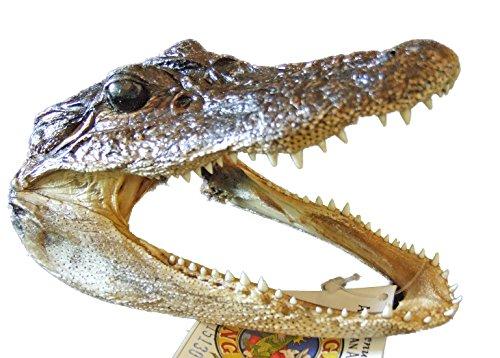 Genuine Alligator Head 5-6 Swamp People Gator New Orleans Bayou>