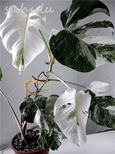 New Arrival !50 Pcs Rare Mixed Turtle Leaves Seeds Monstera Potted Plant Seed Turtle Leaves Perennial Flowers Garden Bonsai Seed