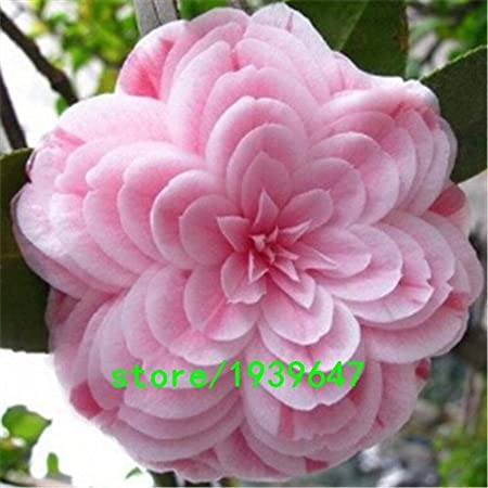 Amazon Com Rare Light Pink Camellia Seeds Potted Plants Garden