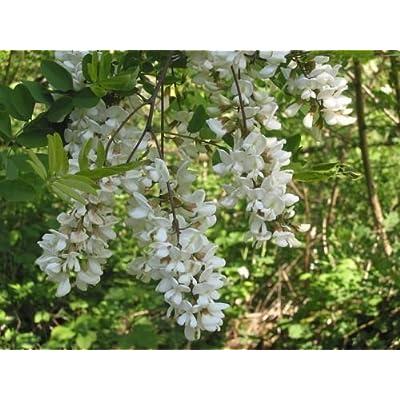 Black Locust, Robinia pseudoacacia, Tree Seeds (Fast, Fragrant, Hardy) 50 : Garden & Outdoor