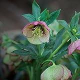 Christmas Rose Helleborus, 10 seed
