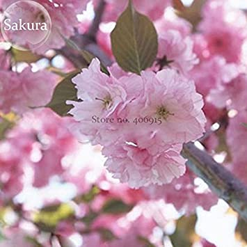 Amazon giant japanese pink cherry blossom sakura tree 20 amazon giant japanese pink cherry blossom sakura tree 20 seeds oriental sweet prunus flower seeds e3752 garden outdoor mightylinksfo