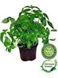Basilikum Pflanze, Frische Küchenkräuter (Basilikum Ocimum basilicum)