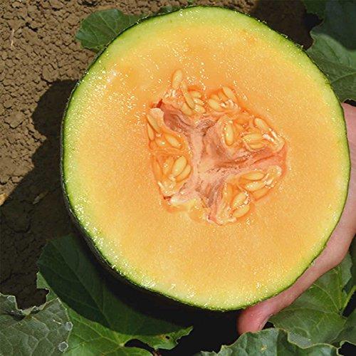 Cantaloupe Melon Garden Seeds - Ambrosia Hybrid - 1000 Seeds - Non-GMO, Vegetable Gardening Seeds - Fruit by Mountain Valley Seed Company