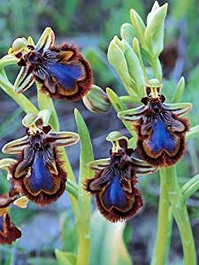 Las semillas de flor de la flor exótica de ángulo flores hermoso de la abeja de la semilla de la ceja 30 \ paquete