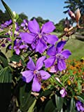 100 Tibouchina granulosa Seeds, Glory tree, Purple Spray Tree