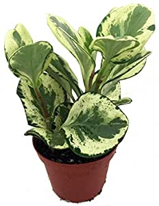 Amazon Com Marble Baby Rubber Tree Peperomia