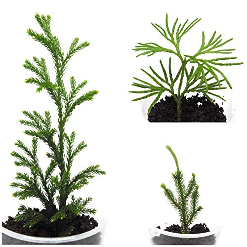 Tin Roof Treasure 6 Pc. (Bare Root) Clubmoss Assortment for Terrariums, Fairy or Shade Garden ()