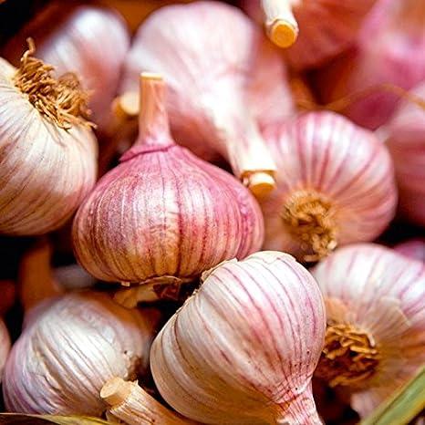 Garlic 100 cloves /'Red Duke/' for  Hardy Bulb