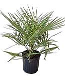 PlantVine Butia capitata, Cocos Australis, Pindo Palm, Wine Palm, Jelly Palm - Large - 8-10 Inch Pot (3 Gallon), Live Plant