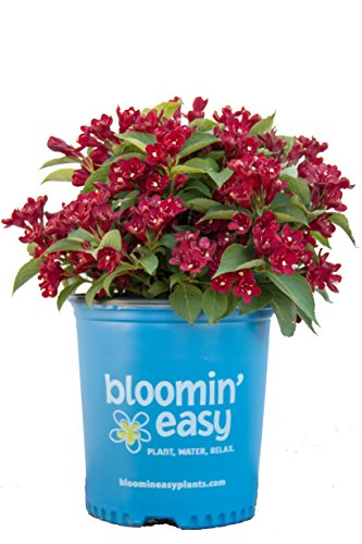 Weigela x Date Night Maroon Swoon (Weigela) Shrub, deep red Flowers, 3 - Size Container by Green Promise Farms