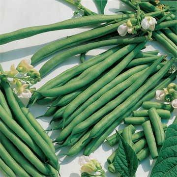 Kentucky Blue Pole Green Beans 102 seeds
