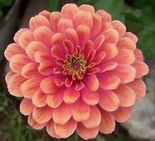 (50+ Zinnia Salmon Color Flower Seeds /)