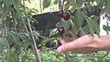 Black Tartarian Dwarf Cherry Tree, Healthy Fruit Tree - 1 Each Plus Bonus