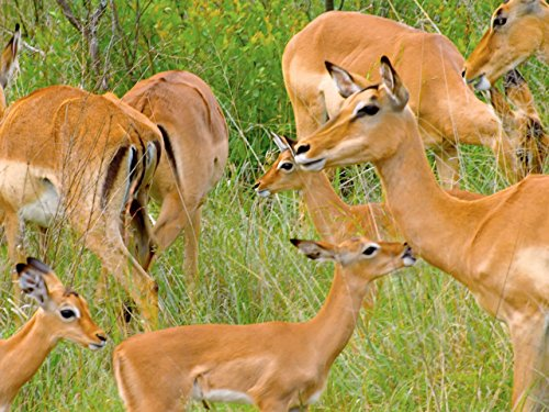 - Fun and Games with Baby Impalas