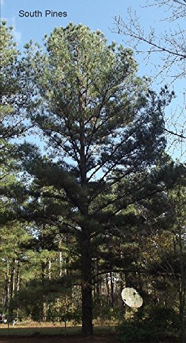 Loblolly Pine Tree - Pinus Taeda - 10 Seeds - Fast Growing Evergreen! - Loblolly Pine Trees