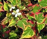 1-Variegated Chameleon Plant Marginal Koi Pond/Bog/Water garden or soil plant