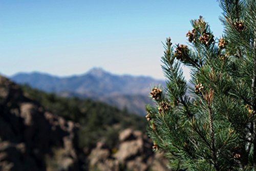 100 Pinyon Pine Nut Seeds ~ Sustainably Raised SOFT SHELL Pinus monophylla USA - Pine Nuts Shell