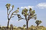 Yucca Brevifolia Joshua Tree, 10 Seeds