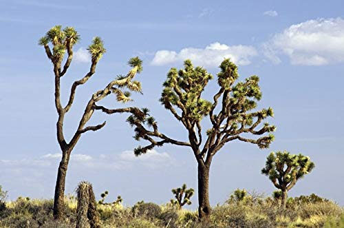Yucca Brevifolia Joshua Tree, 10 Seeds by Seeds2Go