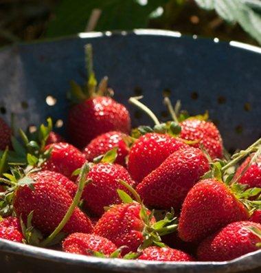75+ Organic Elan Strawberry Seeds - DH Seeds - UPC0687299670796