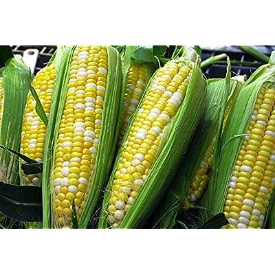 Sweet Corn, Ambrosia Corn, Garden Seed (50 Seeds : Garden & Outdoor