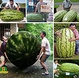 Kofun Flower Vegetable Fruit Seeds Petal Plants Home Garden Yard Decor 50 Pieces Giant Watermelon Seeds