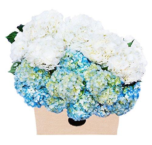 Farm-Fresh Hydrangeas in Bulk: 30 Blue and White Assorted Hydrangeas (Naturally Colored, Premium Quality) - Farm Direct Wholesale Fresh Flowers