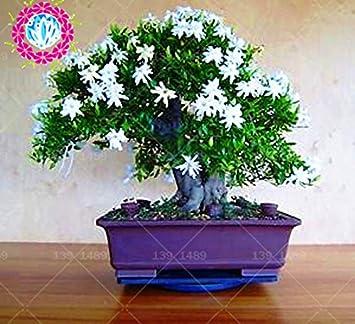 20 Stuck Weisse Arabische Jasmin Aromatische Pflanzen Amazon De