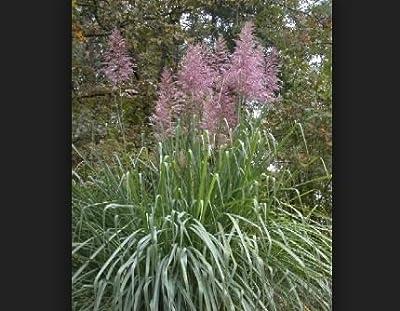 5 Seeds of Saccharum Arundinaceum Hardy Sugar Cane Grass