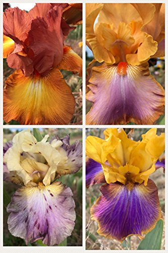 Bearded Iris Rhizomes (4 Tall Bearded Irises - Iris 4 Combo Pack - Tall Bearded Iris Rhizome Upc 600188191318 Sunset Mix)