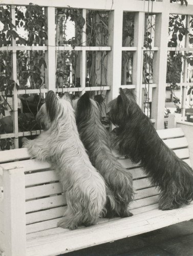 Vintage Photo~Three Skye Terrier Puppy Dogs Looking in Window from Outside Bench~6 pack NEW Matte Vintage Picture Large Blank Note Cards with Envelopes