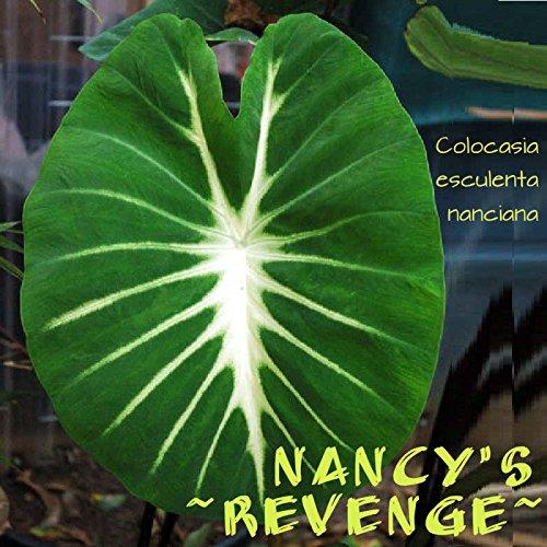 10 Starter Plants of Colocasia Nancys Revenge Elephant Ear Plant by Andryani (Image #1)