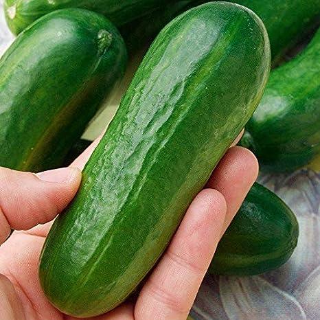 Xianjia Garten Veredelte H/änge-Mini-Gurke Mini Stars F1 BIO-Salatgurke Samen Snack Gem/üse Obst Samen ertragreich mehrj/ährig winterhart f/ür Garten Balkon//Terrasse