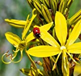Plant World Seeds - asphodelus Lutea Seeds