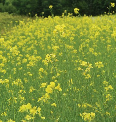 David's Garden Seeds Cover Crop Mighty Mustard Pacific Gold ZR2821 (Yellow) Open Pollinated One Pound Package