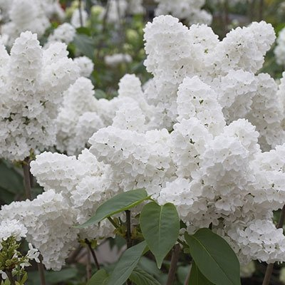 25 White Japanese Lilac Seeds (Extremely Fragrant)/ : Garden & Outdoor