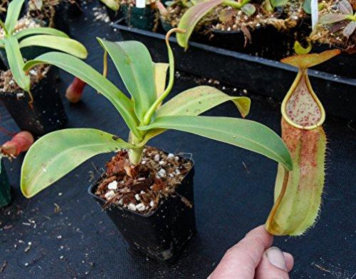 Tropical Pitcher Plant - Nepenthes sanguinea - Carnivorous Plant ()