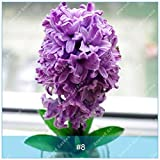 ZLKING 10 Kind of Hyacinth Bulb Bonsai Hyacinthus Orientalis Bonsai Hydroponics Flower Not Seed High Germination Rate Rapid Grow 8