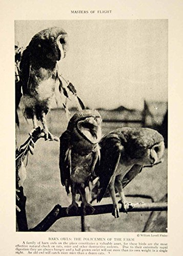 1919 Print Barn Owls Nature Wildlife Animal Birds William Lovell Finley YNG4 - Original Halftone Print from PeriodPaper LLC-Collectible Original Print Archive